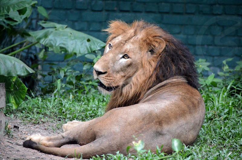 wild life lion photo