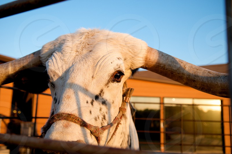 Close-up of a head of a longhorn cow looking at camera photo