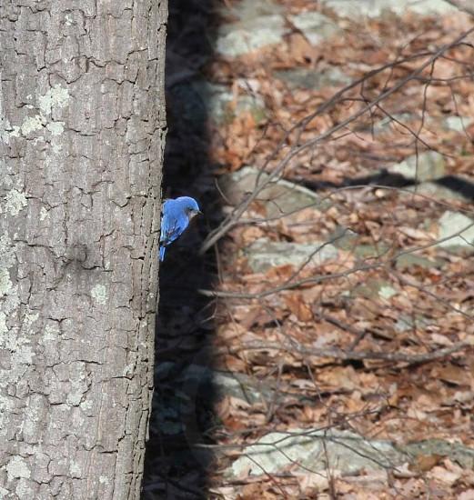 blue bird on gray tree trunk photo