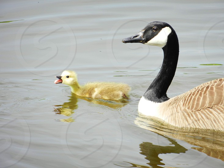 geese with baby photo