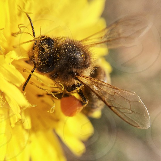 Bee on a yellow flower with pollen photo