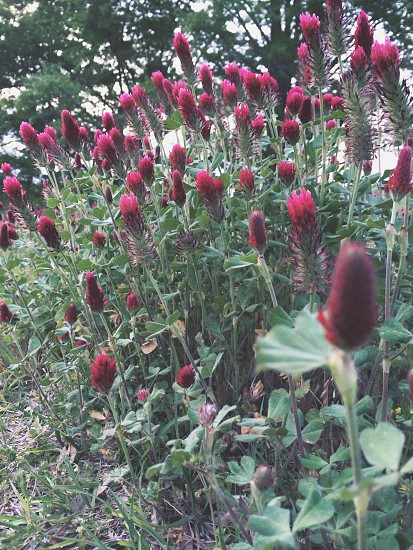red clover photo