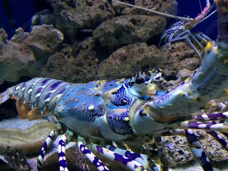 Beautiful Lobster photo