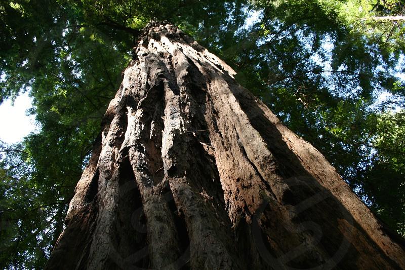 Redwood Tree - John Muir National Park - California photo