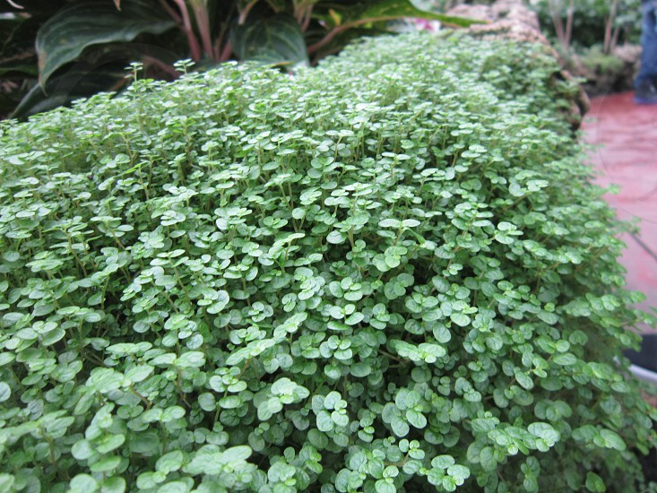 four leaf clover green plant st. patrick's day clover photo