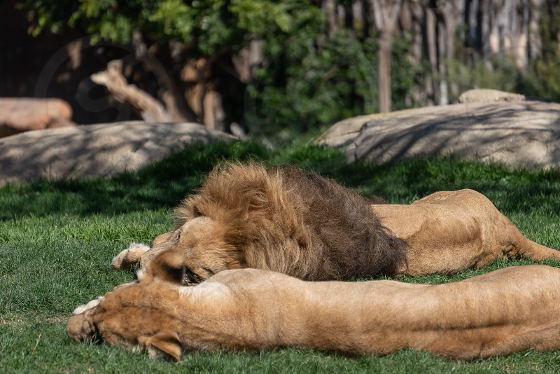 VALENCIA SPAIN - FEBRUARY 26 : VALENCIA SPAIN - FEBRUARY 26 : African Lions sleeping at the Bioparc in Valencia Spain on February 26 2019 photo