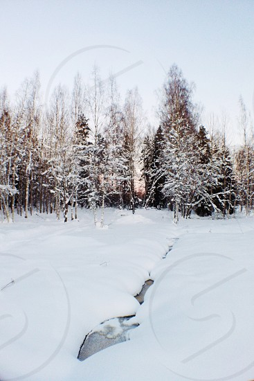 tall tree covered with snow photo