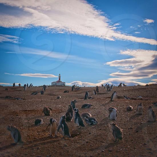 flock of penguins photo
