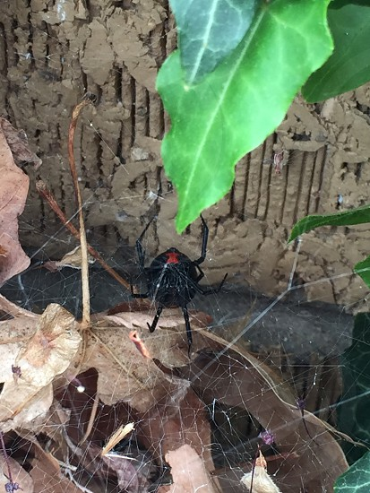 Black widow spider  photo