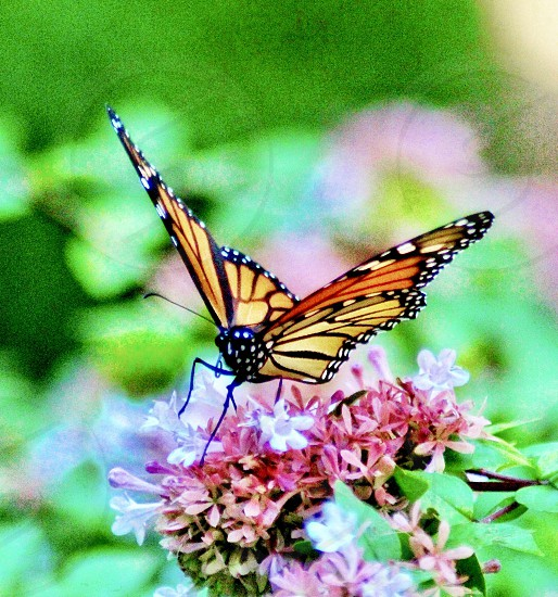 Spring flowers butterflies pink photo