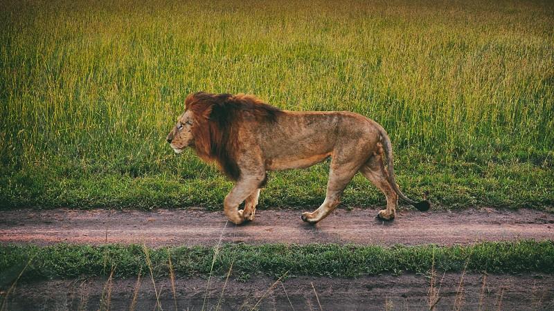 Lion Patrols At Dusk - Maasai Mara National Park Kenya photo