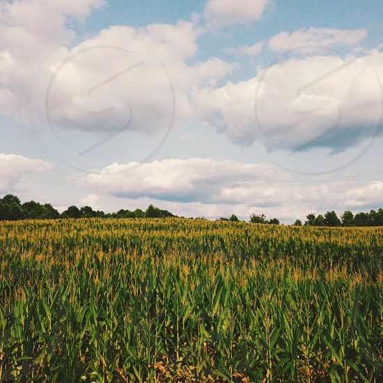 corn fields and white clouds photo