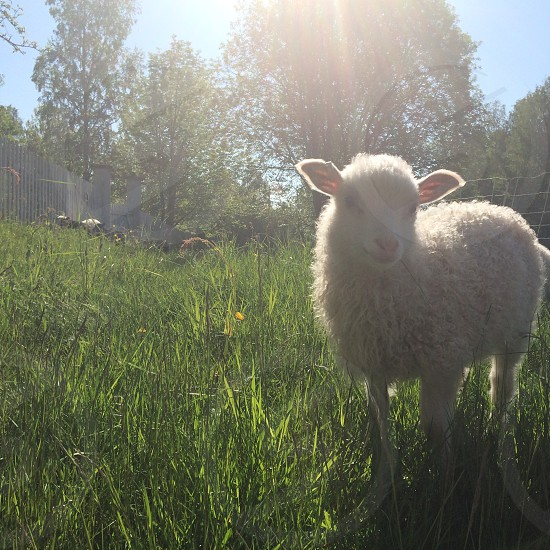 white sheep standing on grass photo