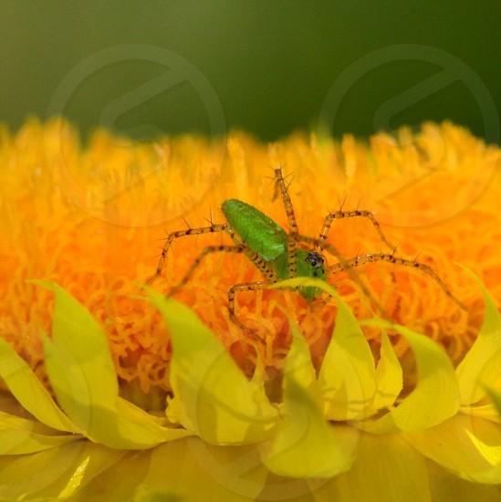 Spider Yellow Flower Macro Olloclip  photo