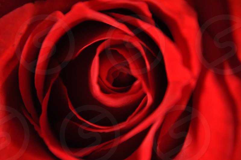 close up photography of red rose photo