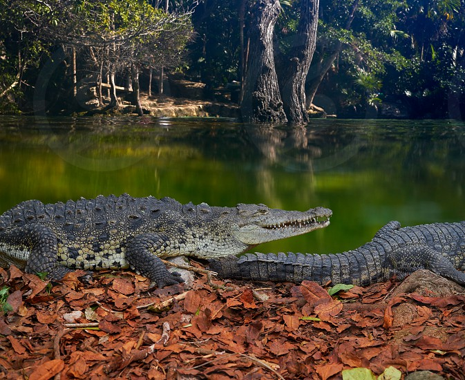 Crocodile in Mexico Riviera Maya lagoon photomount photo