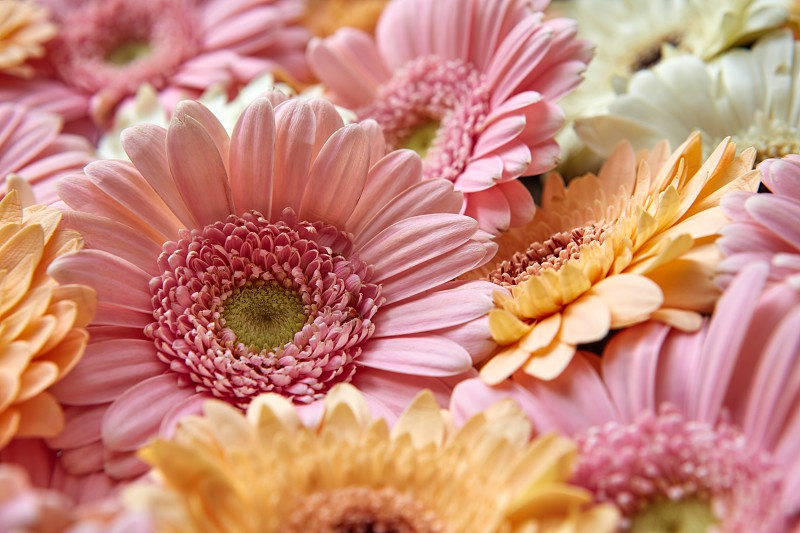Close-up floral natural background of gerbera flowers as layout for post card on Valentine's Day or Mother's Day photo