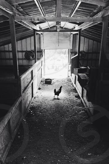 chicken cage  photo