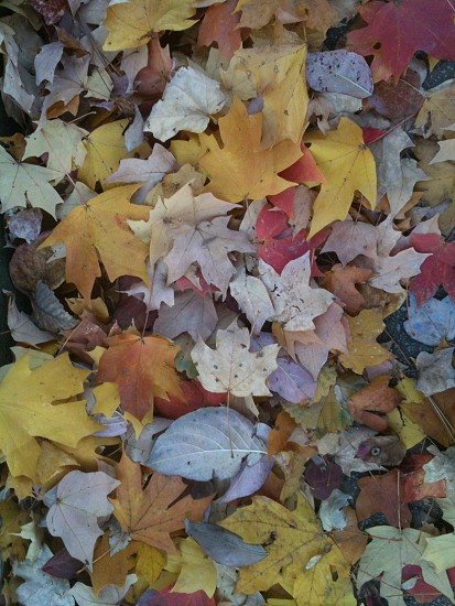 Fall leaves in the South photo