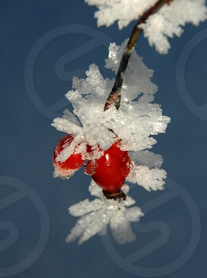 snow covered berry photo