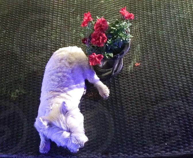 white scottish terrier photo