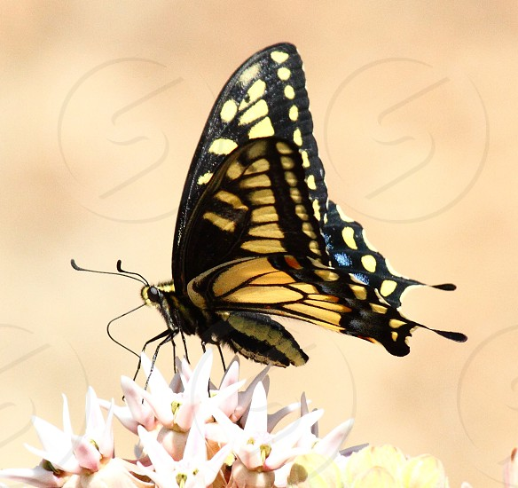 Anise swallowtail butterfly photo