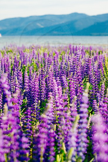 Alpine Lupine flowers blooming in Lake Tahoe. photo
