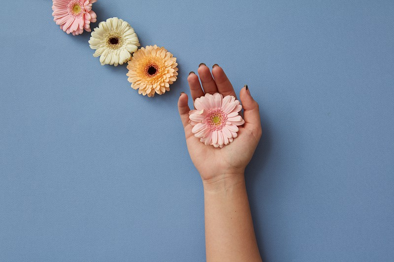 A composition of gerberas a girl's hand holds a pink flower on a blue background. Creative layout as postcard . Flat lay. Spring minimal concept. photo