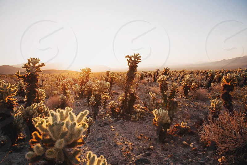 cacti on the desert under grey sky photo