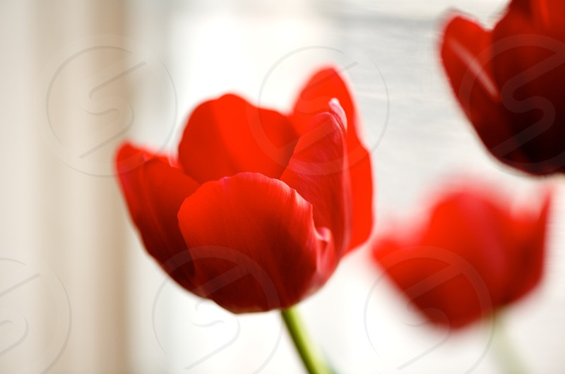 closeup of red tulips in a window photo