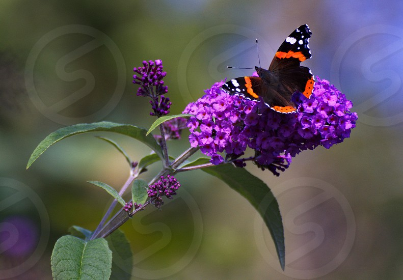 Red Admiral Butterfly on purple leaf photo