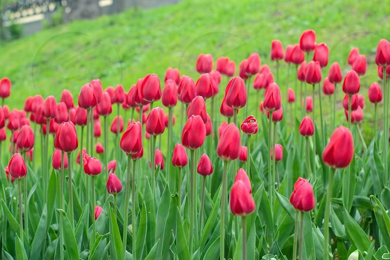 Growing pink tulips photo
