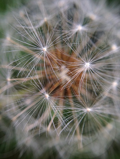close up of dandelion photo