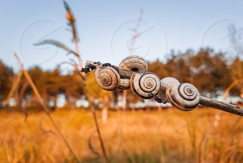 Lots of snail shells on a dry plant in the field near the forest. Countryside autumn scene yellow hay meadow and many vineyard snails (Cernuella virgata). photo