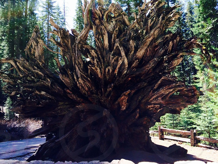 Sequoia Tree Roots at Sequoia National Park CA.   photo