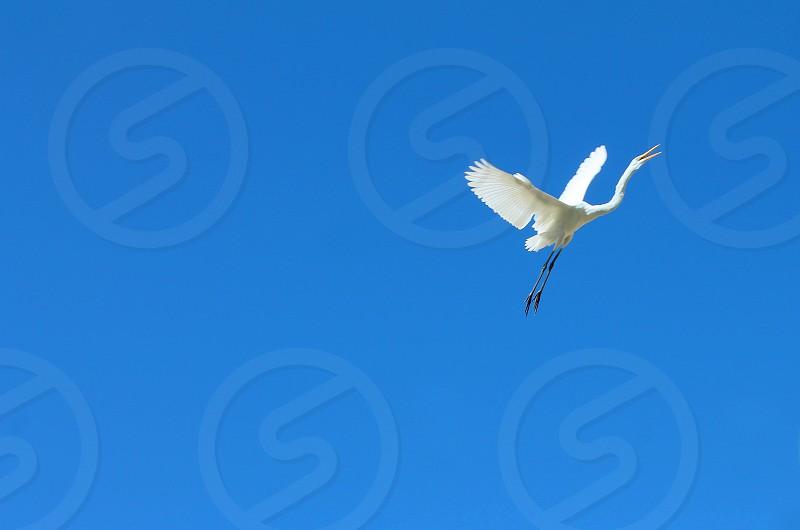A white egret soars upwards against a bright blue sky photo
