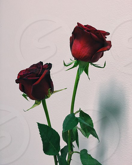 Rose two leaf leaves Valentine's day flower flowers love photo