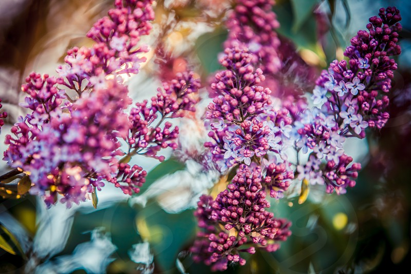 A beautiful lilac blooming in the garden under the rays of the sun photo