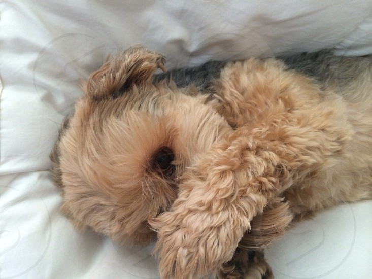 Dog cry cute yorkiepoo bashful shy  photo