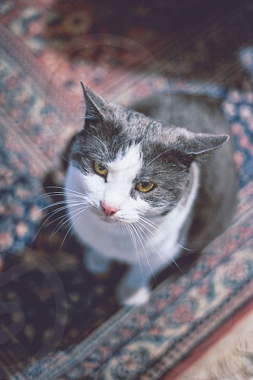 cat male pet animal gray and white white and grey inside rug whiskers eyes looking photo