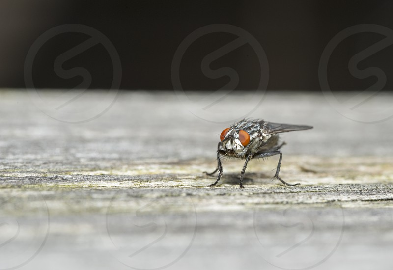 macro of a house fly photo