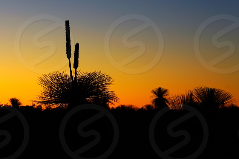 Orange and black sunset view of the silhouette of grass trees (xanthorrhoea) in Kalbarri National Park in the Mid West region of Western Australia photo
