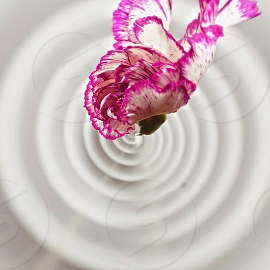 pink and white carnation in tilt shift lens photo