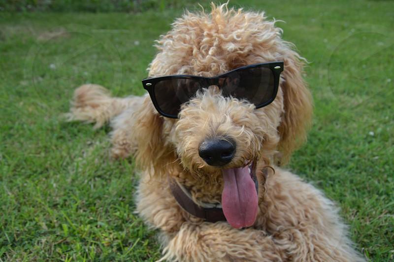 brown curly coated medium dog wearing black sunglasses on ground photo