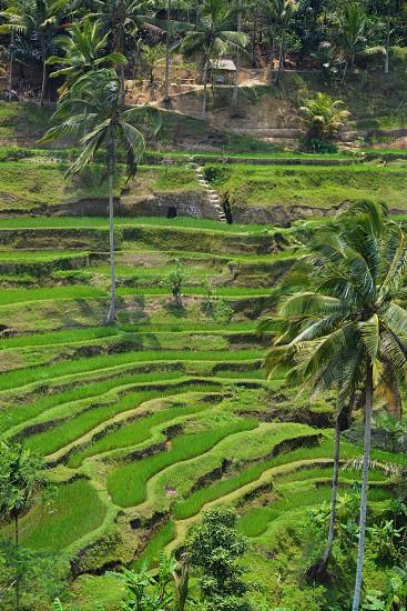 Terraced Rice Fields - Bali Indonesia photo