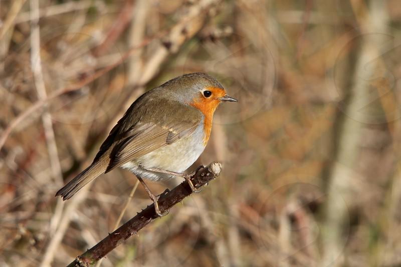 grey and orange short beaked bird photo