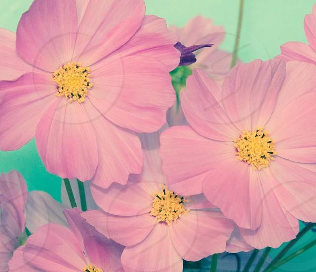 Abundance of pink cosmos from the garden. Close up macro photos of pink cosmos photo