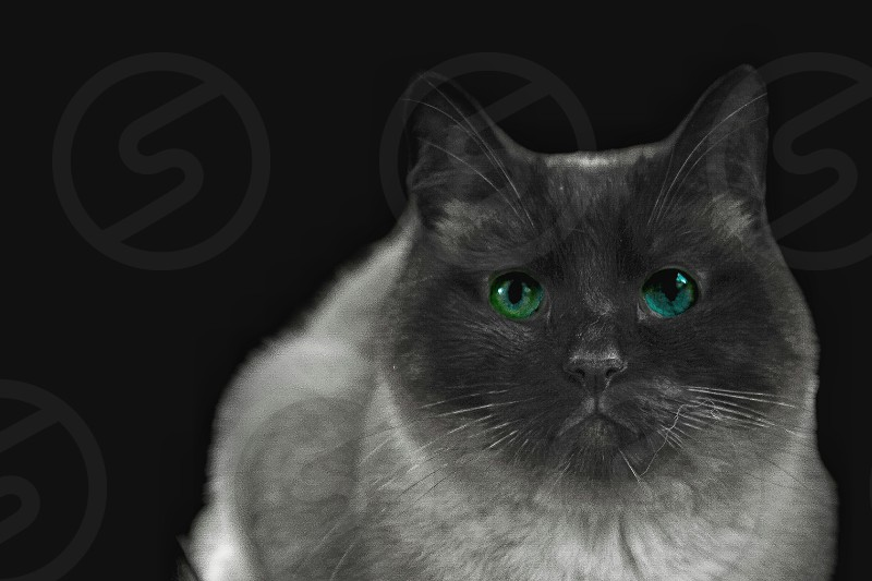 Siamese Cat Everybody wants to be a Cat because a cats the only Cat who knows where it's at photo