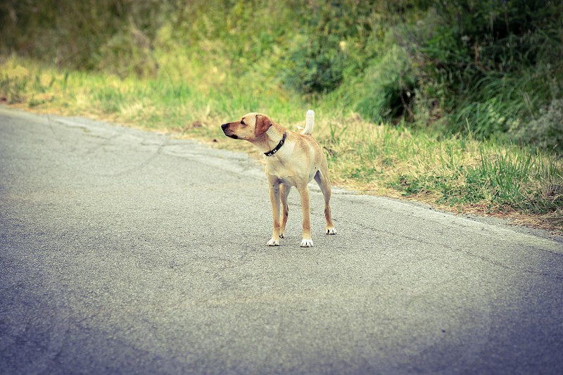 yellow short haired dog standing on paved road photo