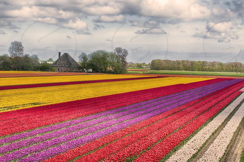 tulipfield pattern colors photo